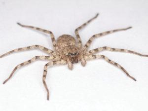 SE262 9 05 300x225 - Hitro vrteči se pajek navdihuje novo generacijo robotov